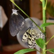 Black rice paper butterfly found for the first time in Okinawa