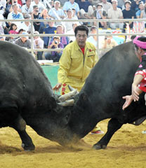 100th All Okinawa Bullfighting Tournament