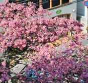 Floss silk trees in full bloom