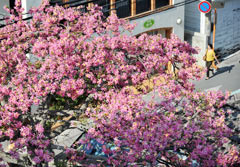 Floss silk trees in full bloom