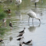 Migratory birds at pond at Tomigusuku
