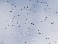Over 30,000 grey-faced buzzards fly to Miyako