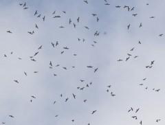 Over 30,000 grey-faced buzzards fly to Miyako