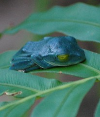 Blue frog found in the northern mountains a sign of a happy future?