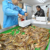 Shipping of Japanese tiger prawns starts in Okinawa
