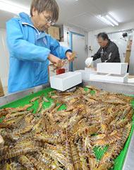 Shipping of Japanese tiger prawns starts in Okinawa