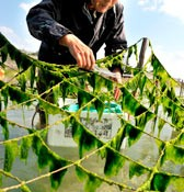 Arsa seaweed harvest starts on Ojima