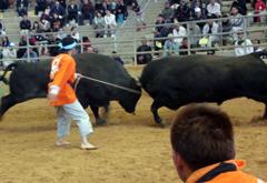 New Year bullfighting tournament held in Uruma City