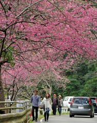 Cherry blossom festival starts in Okinawa earlier than other parts of Japan