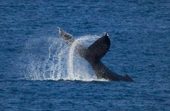 Two whales swim raising a spray of water off Kunigami