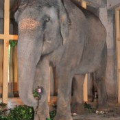 Elephant becomes pregnant for the first time in Okinawa