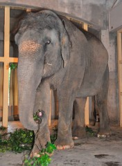 Female ♀ Asian elephant (Elephas maximus) Ruka (Ryuka, Devi) at Okinawa Zoo