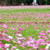 Carpet of pink cosmos waves in wind in Nago