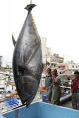 A giant bluefin tuna caught at Tomari Fishing Port in Naha