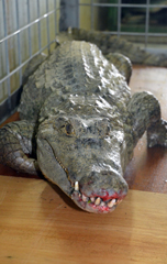 An escaping crocodile captured at Chatan restaurant