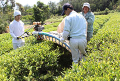 Black tea harvesting begins in Kunigami