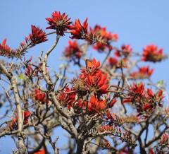 Late Deigo blooming heralds the eve of Summer