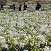 Lily festival starts on Iejima Island