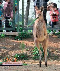 Kangaroo Yayoi turns one