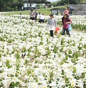 60,000 Easter lilies in full bloom in Okinawa