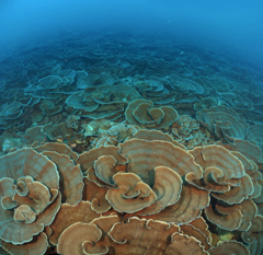 Large coral reefs found in the seas surrounding Iriomote, Ishigaki Islands