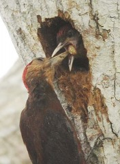 Okinawa woodpeckers raise their babies in Takae