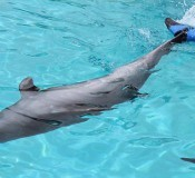 A dolphin swims with a new artificial tail fin