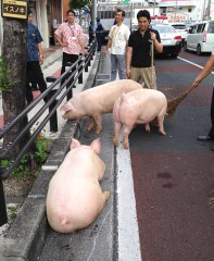Eight pigs run away on national highway