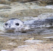 Seal appears in the sea of Tokashiki Island