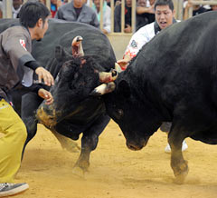 All Okinawa Bullfighting Summer Tournament attracts 2,500 spectators