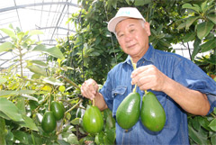 Itoman farmer aiming to export avocados