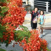 Royal Poinciana blooming in Naha