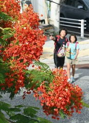 Royal Poinciana blooming in Naha