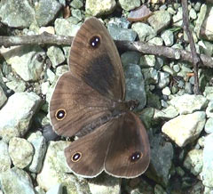 Three rare butterfly species photographed in Takae on same day