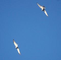 Chinese Goshawk  birds visit  Zamami Island