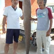 Giant moray caught near Ie Island