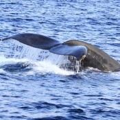 Humpback whale appears in waters near Zamami Island