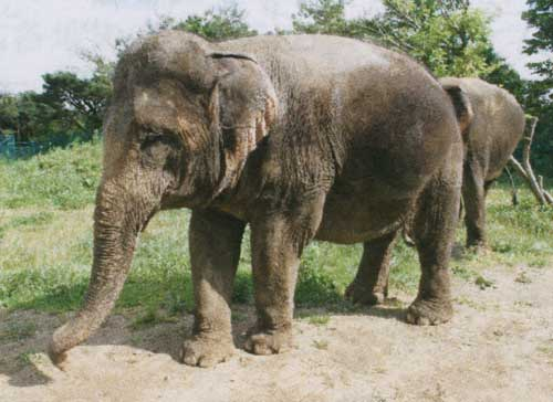 Fukushima zoo's elephants to move to Okinawa during winter