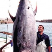 A 220-kilo Bluefin tuna, the first of the year, thrills Hentona fishing port