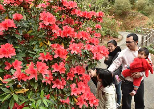 Brightly-Colored Azalea Festival Brings Spring to Higashi Village