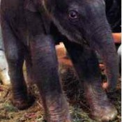 Indian elephant Ryuka  has first baby in Okinawa