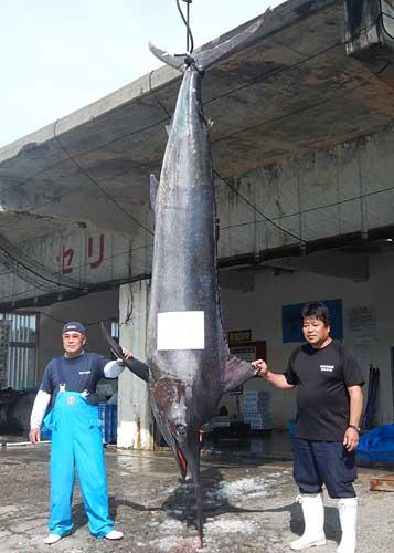 Largest black marlin ever caught off Yomitan