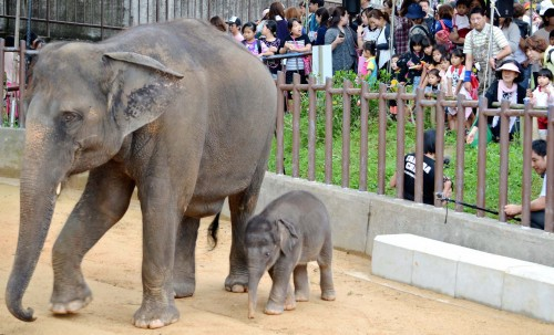 A baby elephant meets the Okinawan public
