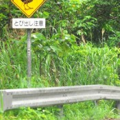 Two male Okinawa rails killed by cars in Kunigami