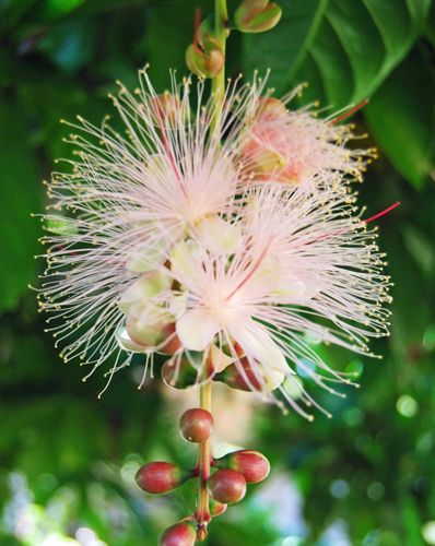 400 year-old Sagaribana blooms in Okinawa