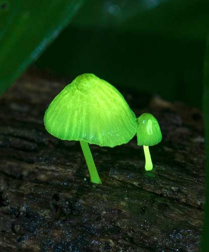 Glowing mushrooms in the forest of Yamabaru during rainy season