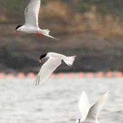 Endangered birds fly on Oura Bay