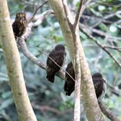 Three Ryukyu brown hawk owl babies found in Nago castle