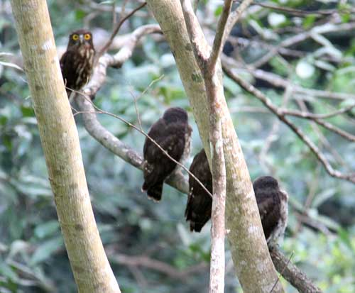 Three Ryukyu brown hawk owl babies found in Nago castle
