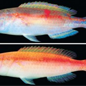 Churashima Foundation confirms a new type of wrasse fish, never before collected for study in Japan